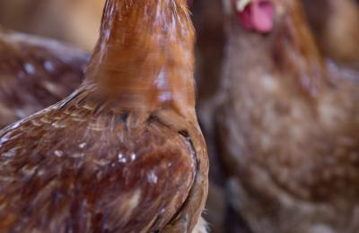 Pollastre ecològic a la cuina del Restaurant Sport de Falset